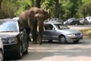 Elephant-smashes-cars-after-getting-dumped-in-China